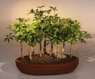 Bonsai Boy's Hawaiian Umbrella Bonsai Tree 9 Tree Forest Group arboricola schefflera 'luseanne'  Bonsai Plants  Grocery & Gourmet Food