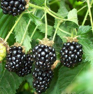 25 Pre Stratified Jumbo Thornless Blackberry Seeds Garden, Lawn, Supply, Maintenance  Lawn And Garden Spreaders  Patio, Lawn & Garden