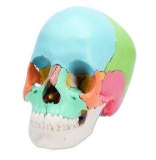 "3B Scientific A291 22 Part Beauchene Adult Human Skull Model, Didactic Colored Version, 8.3"" x 5.5"" x 6.3"""