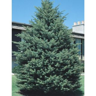 3.63 Gallon Black Hills Spruce (L4531)